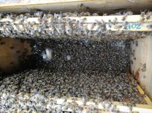 Sono già almeno 5% le api morte per il maltempo di maggio che, impedendo la raccolta del nettare, non ha consentito loro di nutrirsi