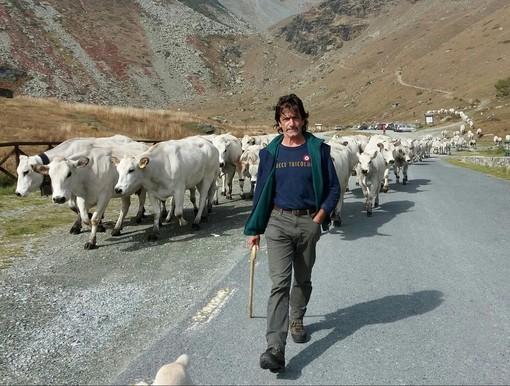Giovanni Dalmasso in Alta Valle Po con la sua mandria