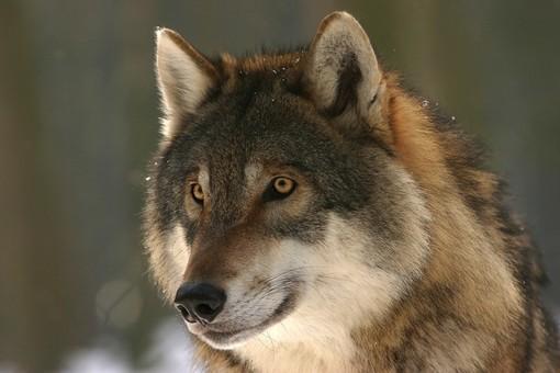 Gregge incustodito aggredito dai lupi in val Chisone