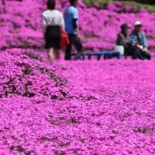 Esplosione di muschio rosa in Giappone, meta di folle turistiche