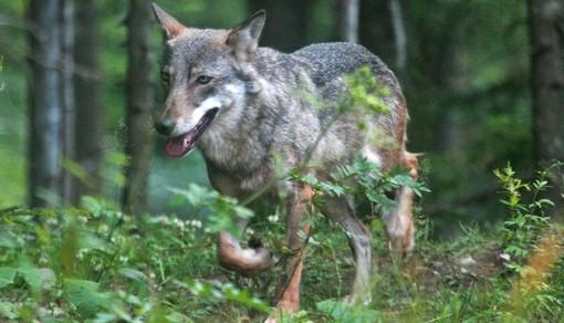 Presenza di lupi in Piemonte, Carosso scrive al ministro dell'Ambiente per segnalare il problema