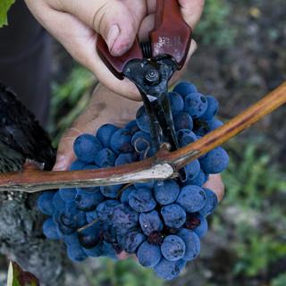 Un grappolo di uva Barbera