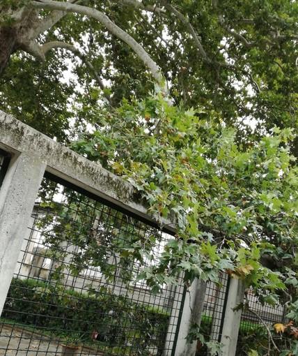 Lettera aperta a tutela del platano ultracentenario del Circolo Way Assauto di Asti