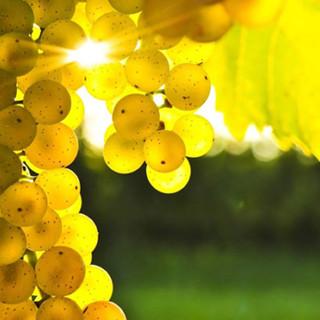 Fissate le rese del Moscato d'Asti D.o.c.g., la Regione Piemonte accoglie la proposta del Consorzio dell'Asti