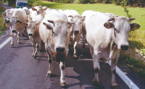 La Cia Asti organizza una tavola rotonda sulla razza Bovina Piemontese