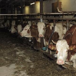 Mucche in un allevamento