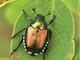 Lotta alla Popillia Japonica, la Regione rilancia l'azione per il 2021 contro l'insetto che distrugge le piante