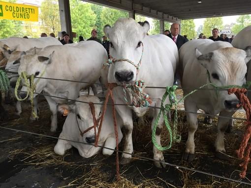 Grande rassegna di bovini piemontesi giovedì prossimo ad Alba