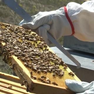 """Non solo le coltivazioni: il gelo ha """"colpito"""" anche le api. Aspromiele chiede alla Regione lo stato di calamità [VIDEO]"""