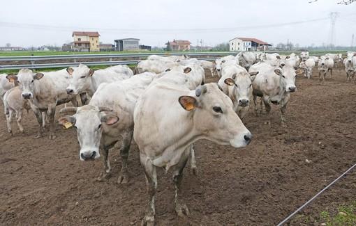 Un piano straordinario per gli allevamenti bovini. Confagricoltura lo chiede alla Regione