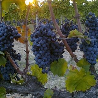 Vendemmia 2021: prezzi all'ingrosso delle uve dalla commissione prezzi della Camera di Commercio