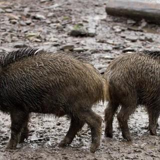 """Emergenza cinghiali, Coldiretti Asti: """"Oltre alla distruzione di raccolti agricoli, l'uccisione di animali e i frequenti incidenti stradali, è sempre maggiore la presenza degli animali selvatici nelle città"""""""