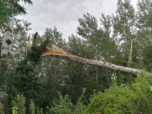 Costigliole d'Asti: uno dei molti alberi alberi caduti, un po' in tutta la provincia, a causa della furia del maltempo