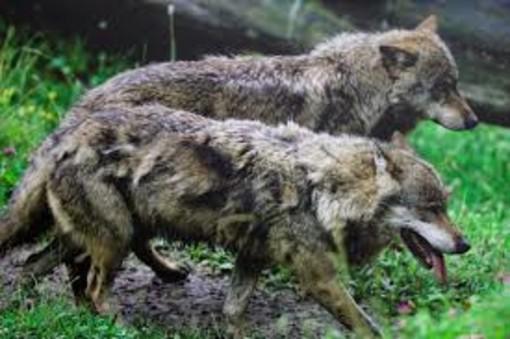 Lupi in Piemonte. Se ne parla questa mattina ad Asti. Come far convivere pacificamente questo animale e l'uomo?