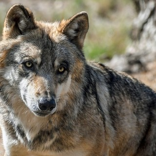 Confagricoltura, eccessiva la proliferazione di lupi in Piemonte. Servono monitoraggi e abbattimenti selettivi