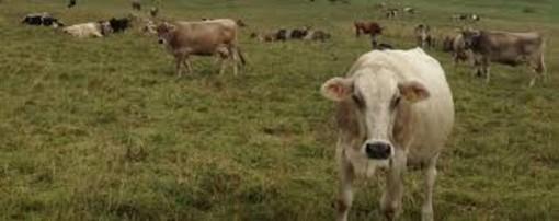 La pioggia ad Asti fa fuggire una mandria di mucche nei pressi del Tanaro