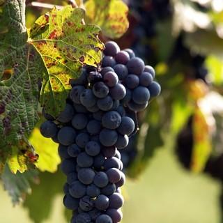 Grappolo uva Nizza Monferrato