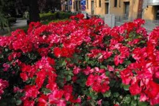 Un cespuglio di rose