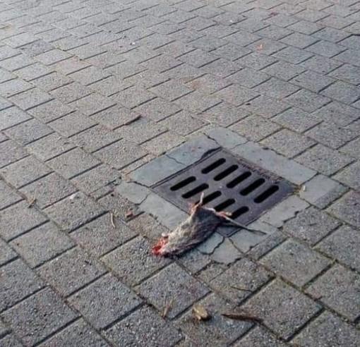 """""""C'è un topo sulla piazza"""". A Motta di Costigliole """"disagi"""" questa mattina per un grosso ratto su un tombino"""