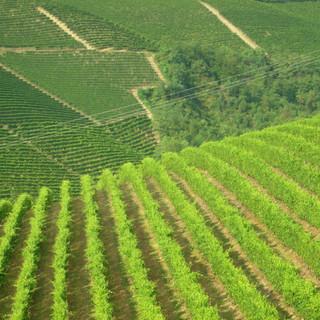 OCM vino: bando da 5,8 mln per la ristrutturazione e riconversione di vigneti per la campagna 2021/2022. Dotazione di 5.8 milioni