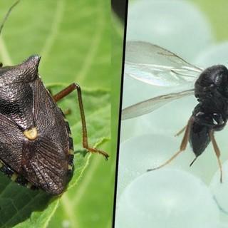 Cimice asiatica e vespa samurai, un pericolo per le colture piemontesi